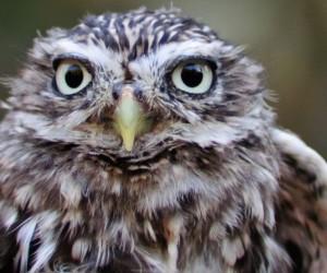 Rio Napo Screech Owl